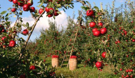 Плодовый сад без ухода. Лесосад