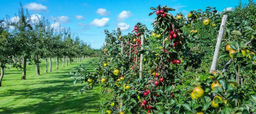 Как сохранить ценный сорт плодового дерева?