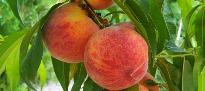 Здоровые листья персика в Сочи