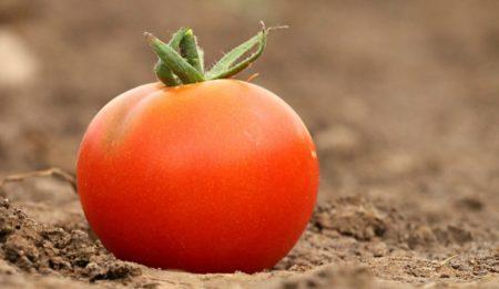 Безрассадное выращивание томатов